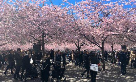 【北欧一の桜】ストックホルム Kungsträdgården の凄い花見